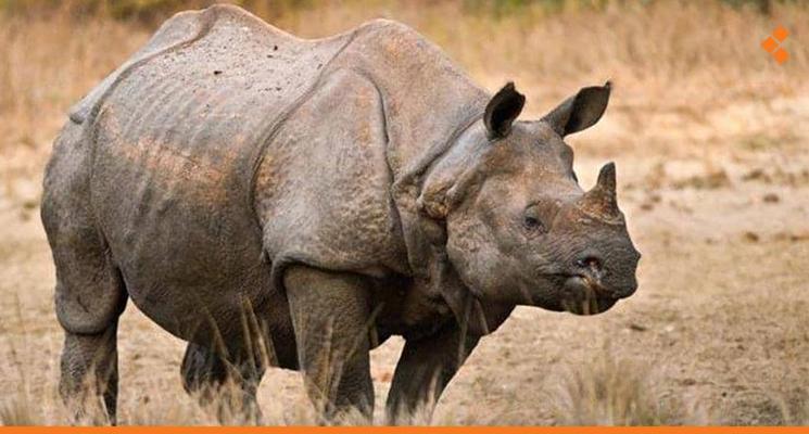 وحيد القرن السومطري ينقرض رسمياً بعد وفاة آخر أنثى في ماليزيا - أثر برس